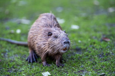 Young coypu (Myocastor coypus) in grass on river bank. Rodent also known as nutria. Wildlife scene