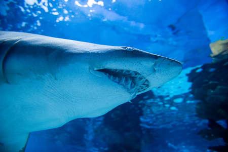 Close up underwater great white shark Stock Photo