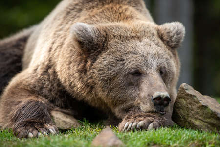 Beautiful close up portrait of the brown bear (Ursus arctos)