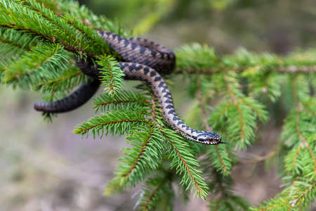 Closeup snake poisonous viper in summer on branch the of tree . Vipera berus