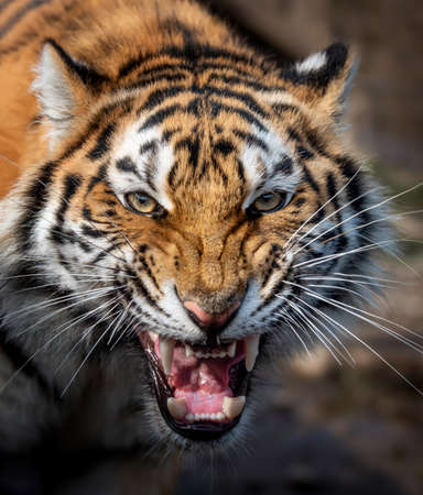Close up view portrait of a Siberian tiger (Panthera tigris altaica)