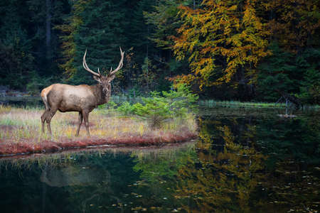 Beautiful roe deer stands on the shore of an autumn forest lake Zdjęcie Seryjne