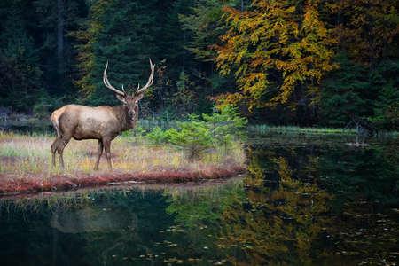 Hermoso corzo se encuentra en la orilla de un lago del bosque de otoño