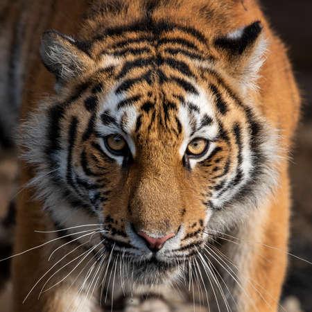 Cerrar vista retrato de un tigre siberiano (Panthera tigris altaica)