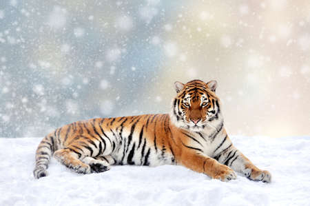 Tiger in a snow on Christmas background. Winter wonderland. New Year card.