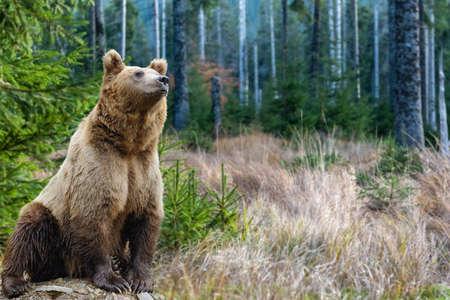 Gran oso pardo (Ursus arctos) en el medio ambiente