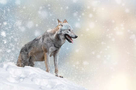 Wolf in a snow on Christmas background. Winter wonderland. New Year card.  Stock fotó