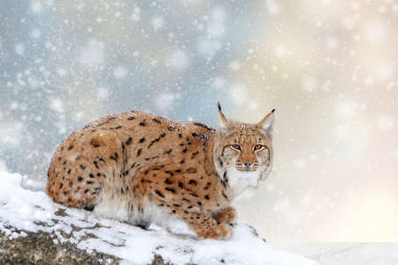 Lynx in a snow on Christmas background. Winter wonderland. New Year card.