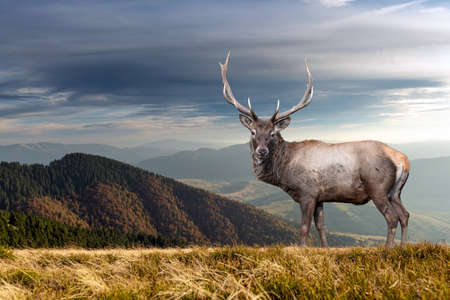 Old male deer on mountain background in autumn time