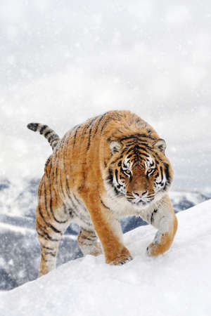 Tiger in a snow on winter background. New Year card
