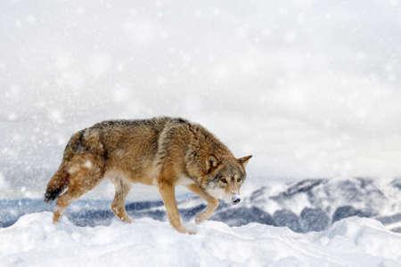 Lobo en la nieve sobre fondo de invierno. Tarjeta de año nuevo.