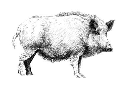 Hand getekend wild zwijn, schets graphics zwart-wit afbeelding op witte achtergrond (originelen, geen tracering)