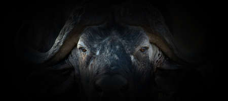 Buffalo portrait on a black background. View from the darkness Foto de archivo - 136527081