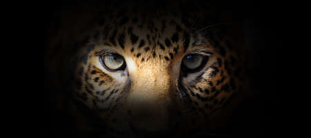 Leopard portrait on a black background. View from the darkness Foto de archivo - 136529299