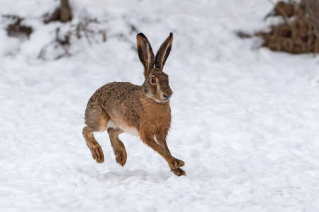 Close up Hare running in the winter field Foto de archivo - 137572012