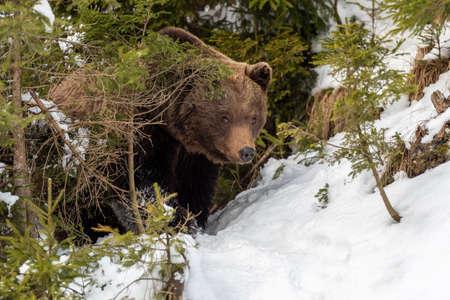 Close wild big brown bear in winter forest Foto de archivo - 137572390