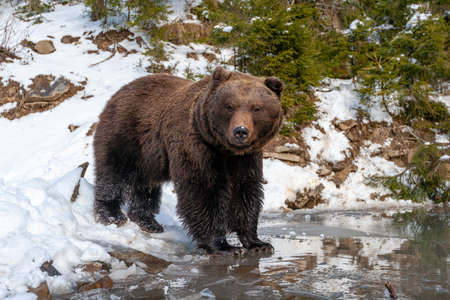 Close wild big brown bear near a forest lake Foto de archivo - 137572006