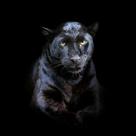 Ritratto di leopardo ravvicinato isolato su sfondo scuro Archivio Fotografico
