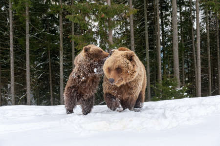 Bears family goes through the winter forest Foto de archivo - 137571210