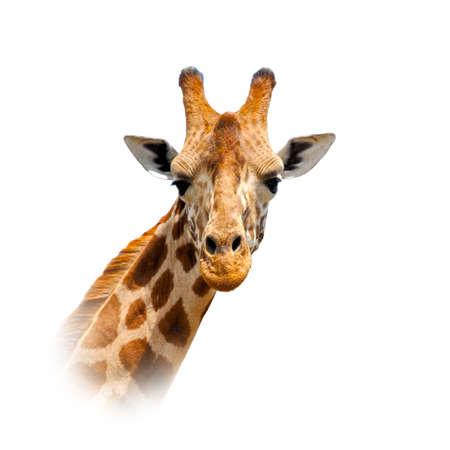Close up giraffe portrait isolated on white background Foto de archivo - 137571400