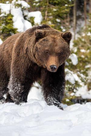 Close wild big brown bear in winter forest Foto de archivo - 137754943