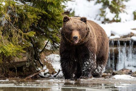 Close wild big brown bear near a forest lake Foto de archivo - 137572091