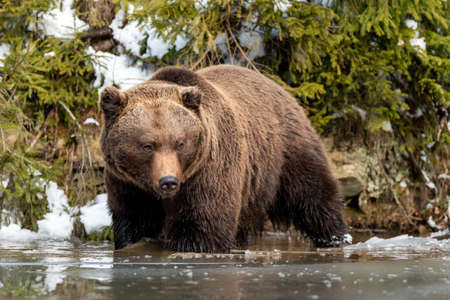 Close wild big brown bear near a forest lake Foto de archivo - 137571963