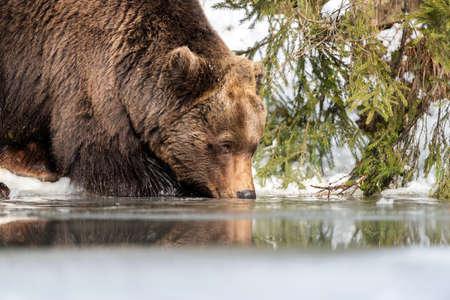 Close wild big brown bear near a forest lake Foto de archivo - 137572370