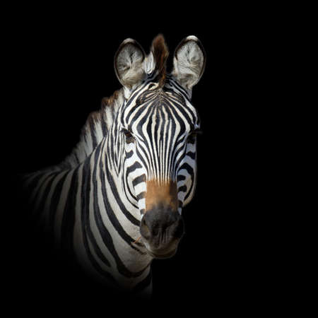 Close up ANIMAL portrait isolated on dark background Foto de archivo - 137571424