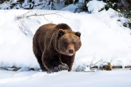 Close wild big brown bear in winter forest Foto de archivo - 137754944