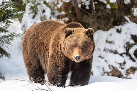 Close wild big brown bear in winter forest Foto de archivo - 137572115