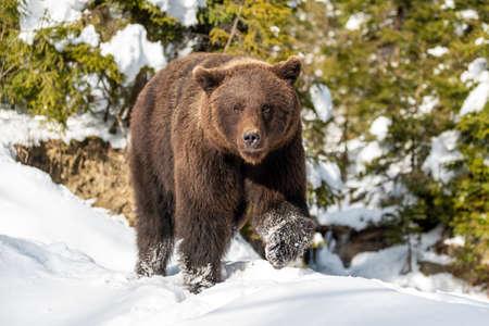 Close wild big brown bear in winter forest Foto de archivo - 137571501