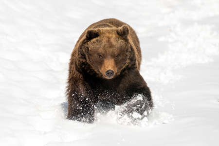 Close wild big brown bear running in winter field Foto de archivo - 137572171