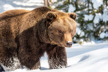 Close wild big brown bear in winter forest Foto de archivo - 137571371