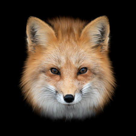 Close up Red fox portrait isolated on dark background Foto de archivo - 137571329