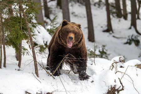 Close wild big brown bear in winter forest Foto de archivo - 137572243