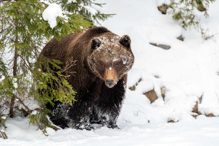 Close wild big brown bear in winter forest Foto de archivo - 137571383