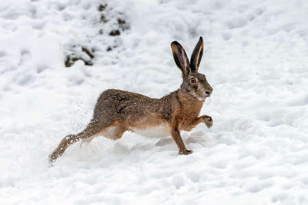 Close up Hare running in the winter field Foto de archivo - 137754945
