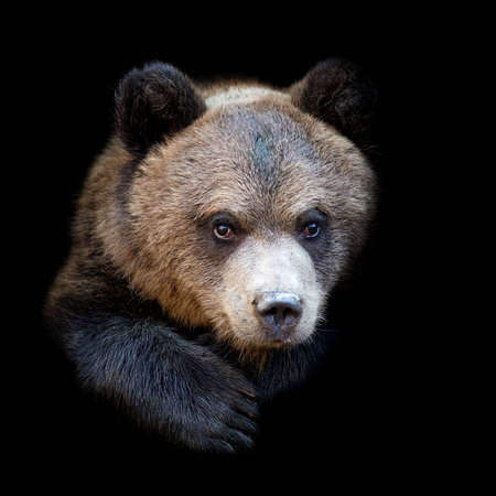 Close up bear portrait isolated on dark background Foto de archivo - 137572154