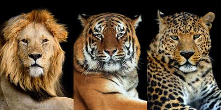 Three big wild cats (leopard, tiger, lion) on dark background Foto de archivo - 137571452
