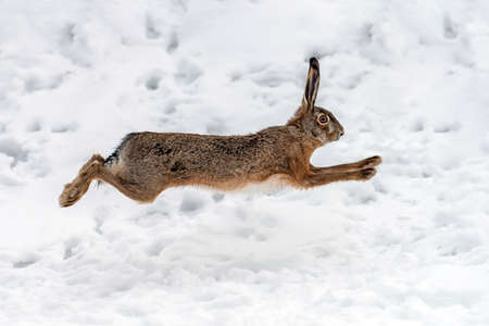 Nahaufnahme des Hasen, der im Winterfeld läuft