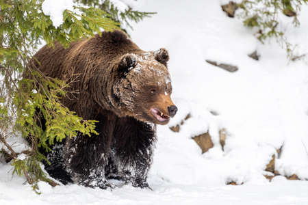 Close wild big brown bear in winter forest Foto de archivo - 137754946