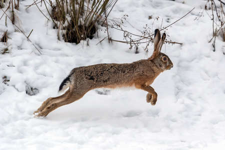 Close up Hare running in the winter field Foto de archivo - 137573954