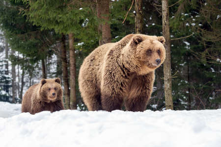 Bears family goes through the winter forest Foto de archivo - 137573132