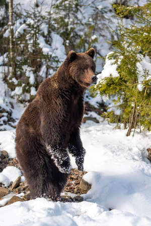 Close wild big brown bear in winter forest Foto de archivo - 137573654