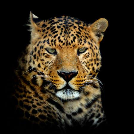 Close up leopard portrait isolated on dark background Reklamní fotografie