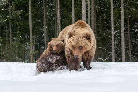 Bears family goes through the winter forest Foto de archivo - 137573786