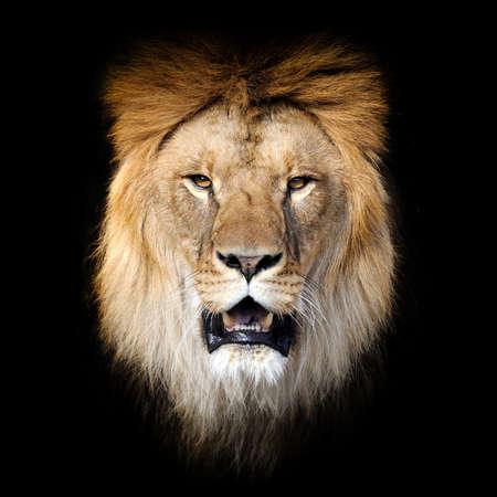 Primo piano Ritratto di leone isolato su sfondo scuro Archivio Fotografico
