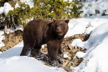Close wild big brown bear in winter forest Foto de archivo - 137573815
