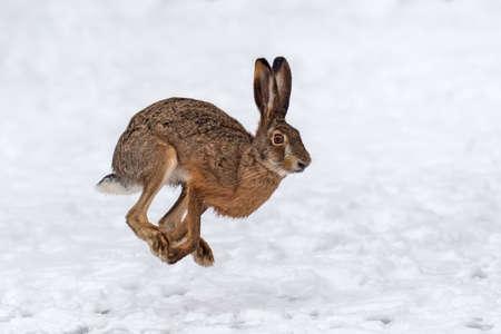 Close up Hare running in the winter field Foto de archivo - 137573723